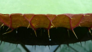 Close up of the spines on the Amazon Waterlily pad