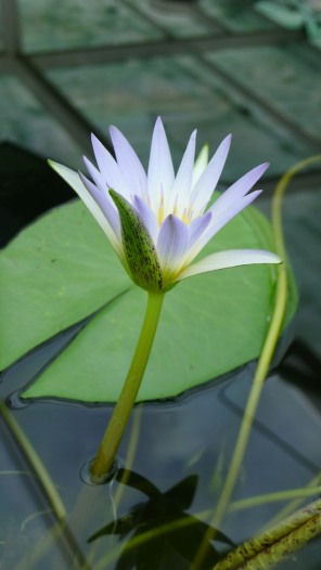 Dauben Water Lily, I think