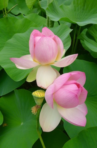 Sacred Lotus in the Nelumbo Pond