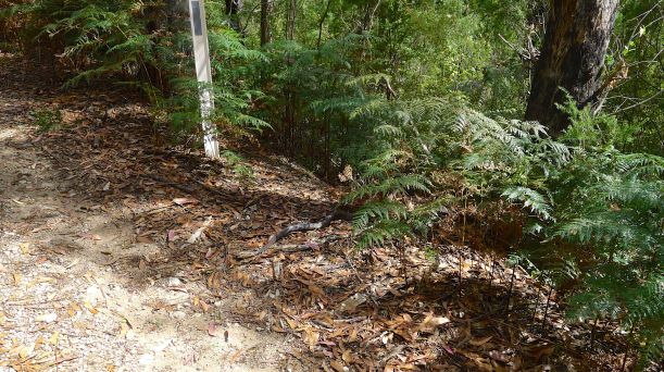 Tiger snake disappearing into the scrub