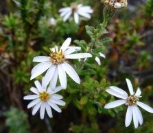 Dusty Daisybush (Olearia phlogopappa)